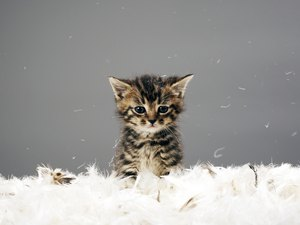 What are the Benefits of Having a Kitten?