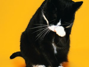 Natural Remedy for Flea Allergies in Cats