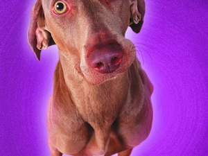 Immune Deficiencies in Weimaraners