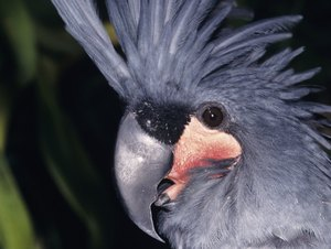 Endangered Palm Cockatoo