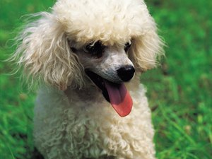 How to Get a Poodle to Go Potty in the Rain & Cold
