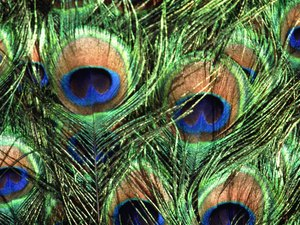 Are Peacock Feathers Harmful to Cats?