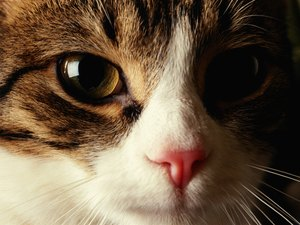 What Color Are Most Cat Noses?