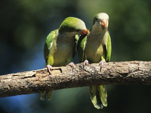 Can Parakeets Withstand Heat and Cold Outdoors?