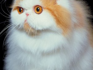 Cats That Cause an Allergic Reaction in Humans