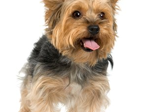 How to Get a Silky Terrier's Hair to Grow