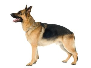Genetics Behind the Degenerative Myelopathy of German Shepherds