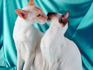 Balinese Cats vs. Siamese Cats