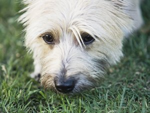 The Care of an Older Cairn Terrier