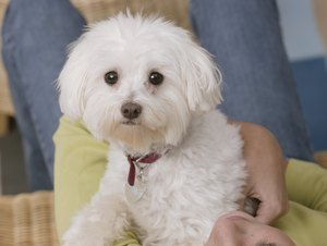 How to Groom a Bichon Puppy