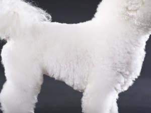 The Caloric Needs of a Bichon Frise