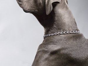 How to Care for Weimaraner Dogs