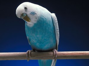 The Behavior of a Sick Parakeet