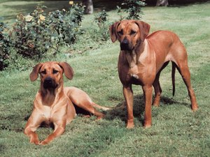 Training Tips for a Rhodesian Ridgeback
