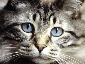 Blindness in Cats From Roundworms