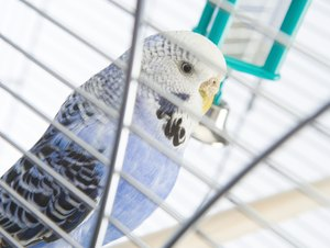 How Do I Calm a Parakeet That Breathes Hard When I Take Him Out?