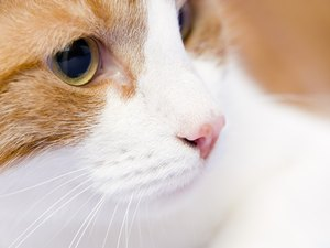Peptic Ulcer in Cats