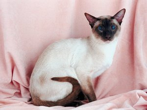 Facts About Siamese Kittens