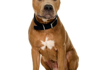 How to Make Your Pit Bull Obedient