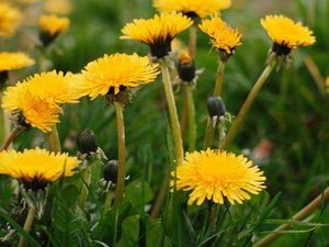 Is Dandelion Tea Good for You?