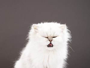 Do Cats That Are Sneezing With the Herpes Virus Pass It to Humans?