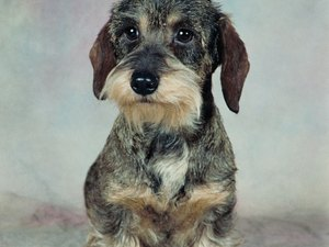 Wire-Haired Dachshund Grooming Styles