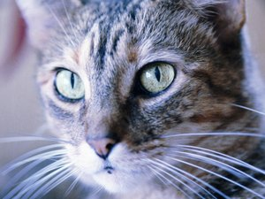 Temporary Blindness in Cats