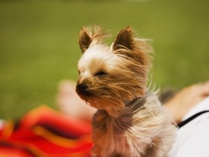 Are Yorkshire Terriers Hypoallergenic?