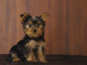 How to Do a Puppy Cut on a Silky Coat Yorkie