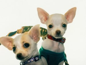 How to Bathe & Remove Fleas for a Teacup Chihuahua Puppy