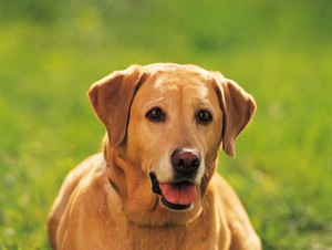 Percentage of Labradors That Get Bone Cancer