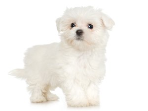 Maltese Puppy Development