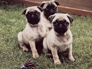 How Do Pugs Get Worms?