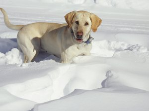 Increasing the Quantity of Food for a Labrador Puppy in the Winter