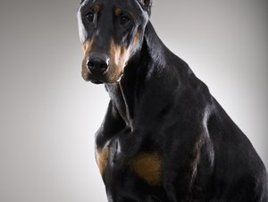 How Often Do Dobermans Need a Bath?