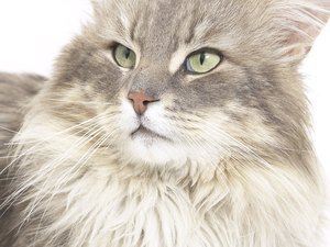 Reasons for Cysts on Cats
