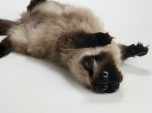 What Kind of Medical Problems Can Himalayan Cats Have?