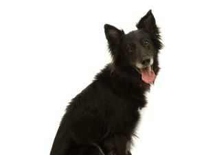Are Border Collies Shy?