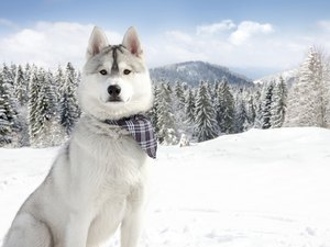 Everything You Need to Know About Siberian Huskies