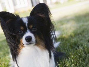 How to Cut a Papillon's Hair