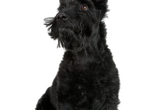Common Skin Ailments in Scottish Terriers