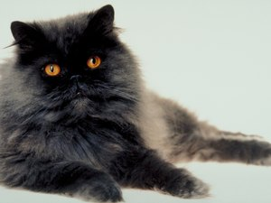 Hyperthyroidism & Heart Mumurs in Cats