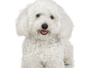 Characteristics & Care of the Bichon Frise