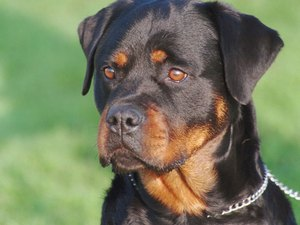 How to Deal With Aggression in Rottweilers
