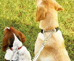 how to train a puppy to wear a collar