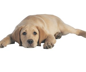 Can Dogs Get Hepatitis A From Humans