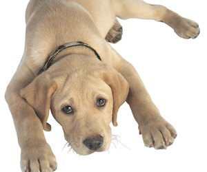 Can A Vaccinated Dog Get Parvo