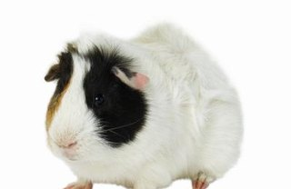 [Article Image] - What Goes in a Guinea Pig's Litter Box?