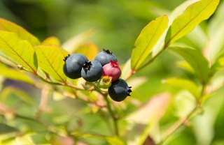 [Article Image] - Blueberries for Warm Locations