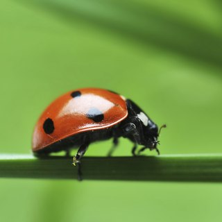 What Do Pet Ladybugs Eat?